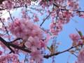 150305 河津桜