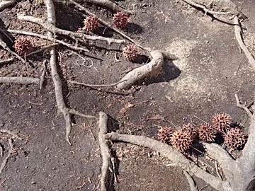 紅葉葉楓 モミジバフウ 実