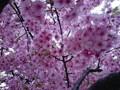150318 河津桜 満開