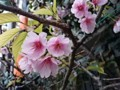 桜 サクラ