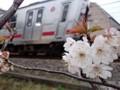 線路脇の風景 春 桜