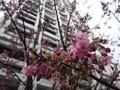 150321 桜