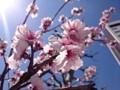 150327 桜