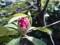 150328 シャクナゲ 石楠花