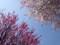 150330 桜 サクラ 紅白