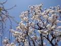 150330 桜 サクラ