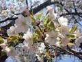 150330 池上本門寺 笹部桜