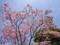 150424 ハナミズキ 花水木