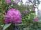 シャクナゲ 石楠花