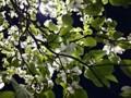 ハナミズキ 花水木 夜