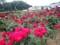 神代植物公園 バラフェスタ