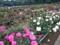 神代植物公園 バラフェスタ つるバラ