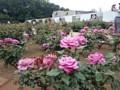 神代植物公園 バラフェスタ ムーン・シャドウ アメリカ