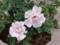 神代植物公園 バラフェスタ 新種1513