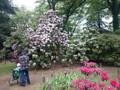 神代植物公園 シャクナゲ 石楠花