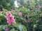 神代植物公園 ベニバナトチノキ
