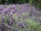 神代植物公園 フレンチラベンダー