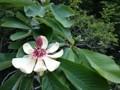神代植物公園 ホオノキ 朴の木