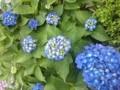 150603 紫陽花 アジサイ