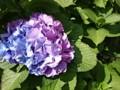 150607 アジサイ 紫陽花