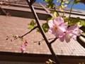 160210 東京 桜