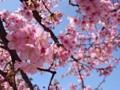 160219 河津桜 東京