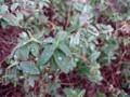 キンシバイ 葉 雨上がり