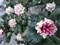 160305 沈丁花 ジンチョウゲ