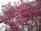 160311 おかめ桜 オカメザクラ