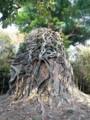 カンボジアの風景 ガジュマルの木