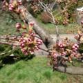 160409 花巻 桜 蕾