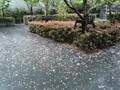 160424 雨 八重桜 花びら