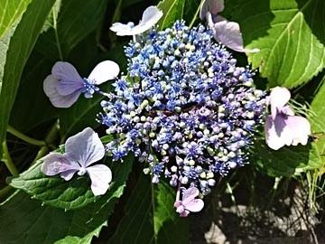 160604 アジサイ 紫陽花