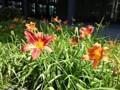 160604 ヘメロカリス 一日花