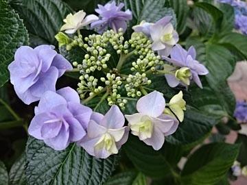 160606 アジサイ 紫陽花