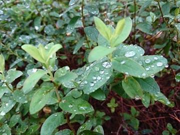 雨上がり キンシバイ
