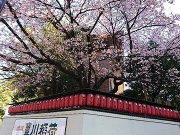 170316 桜 豊川稲荷