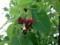 雨上がり ハナミズキ 花水木