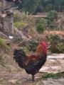 [China][2017]Majestic Chicken in Jiangxi