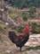 Majestic Chicken in Jiangxi