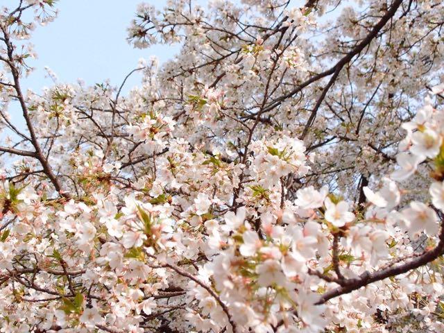 桜満開名城公園