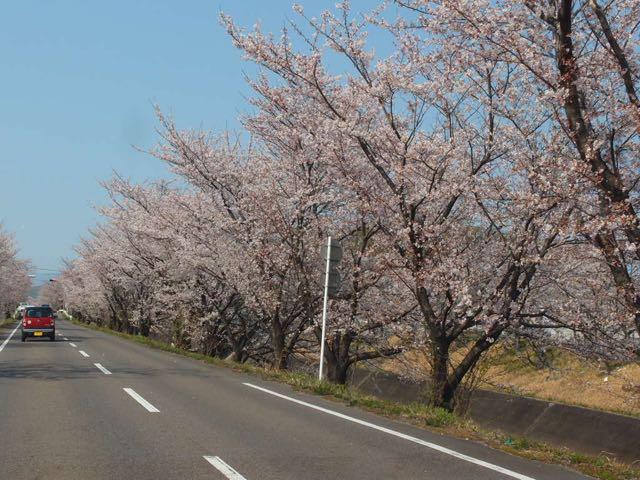 木曽川堤桜