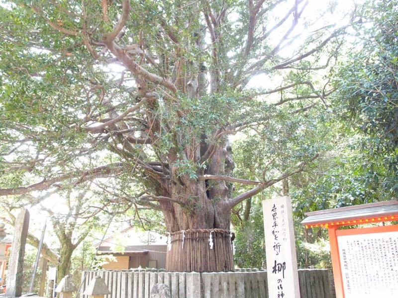 速玉大社の梛の木