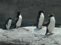 イワトビペンギン(旭山動物園)