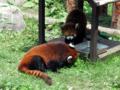 レッサーパンダ(旭山動物園)