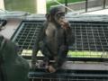 チンパンジー(旭山動物園)
