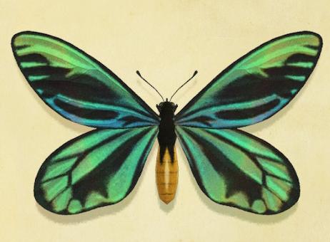 あつ森のアレキサンドラトリバネアゲハ