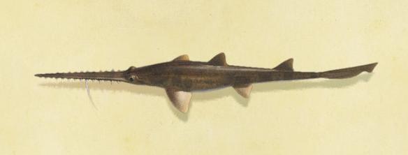 あつ森のノコギリザメ