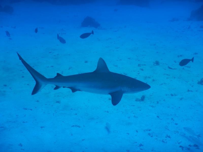 Gray Reef Shark1