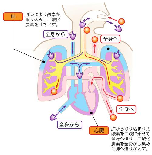 豆知識 身体編】 呼吸について考...